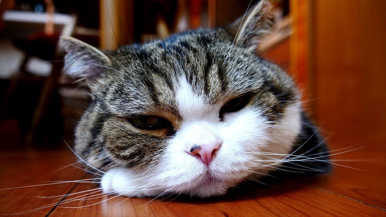 Maru The Cat Video Chana Suke
