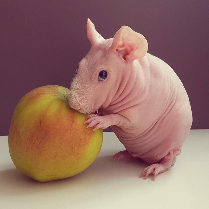 naked-guinea-pig-food-photoshoot-ludwik-102__700