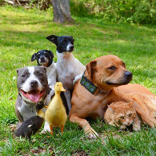 unusual-animal-friendship-dogs-cat-ducks-kasey-and-her-pack-1